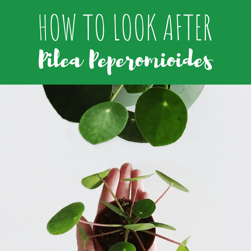 Pilea Care Tips: How To Look After Your Pilea Peperomioides