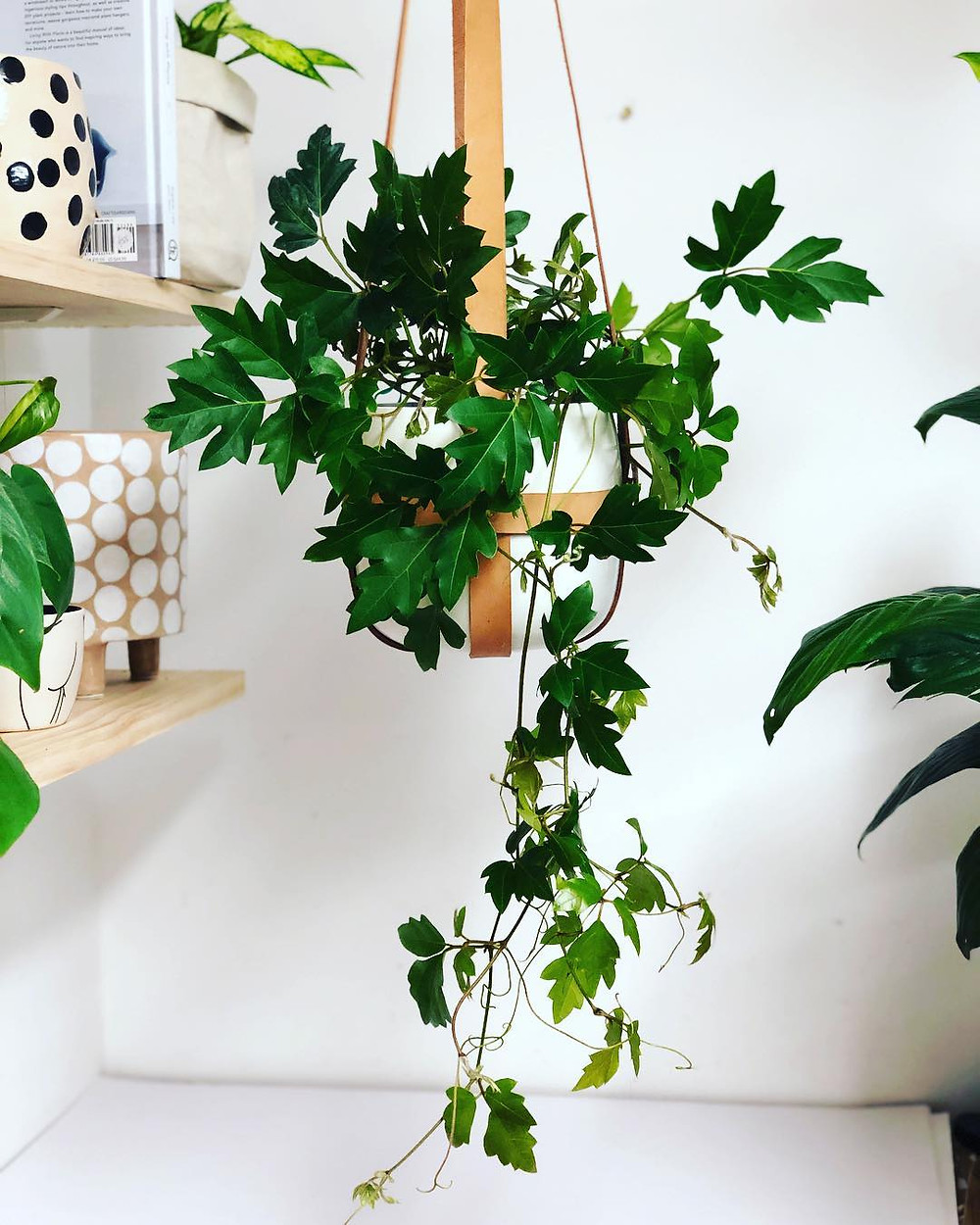 Grape Ivy Cissus rhombifolia Trailing Plants Hanging houseplants
