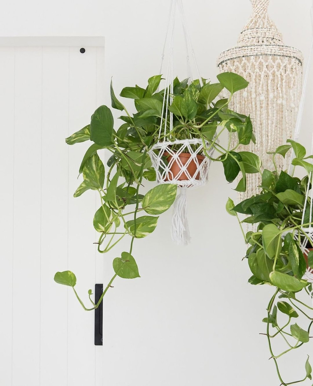 Golden Pothos Epipremnum aureum Hanging Plant Trailing Houseplants
