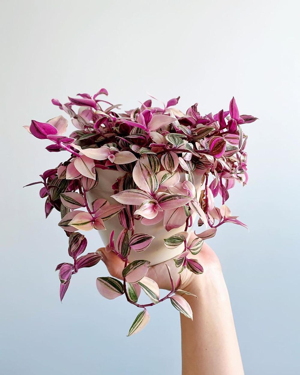 Tradescantia Tricolor Nanouk Mood Boosting Plants