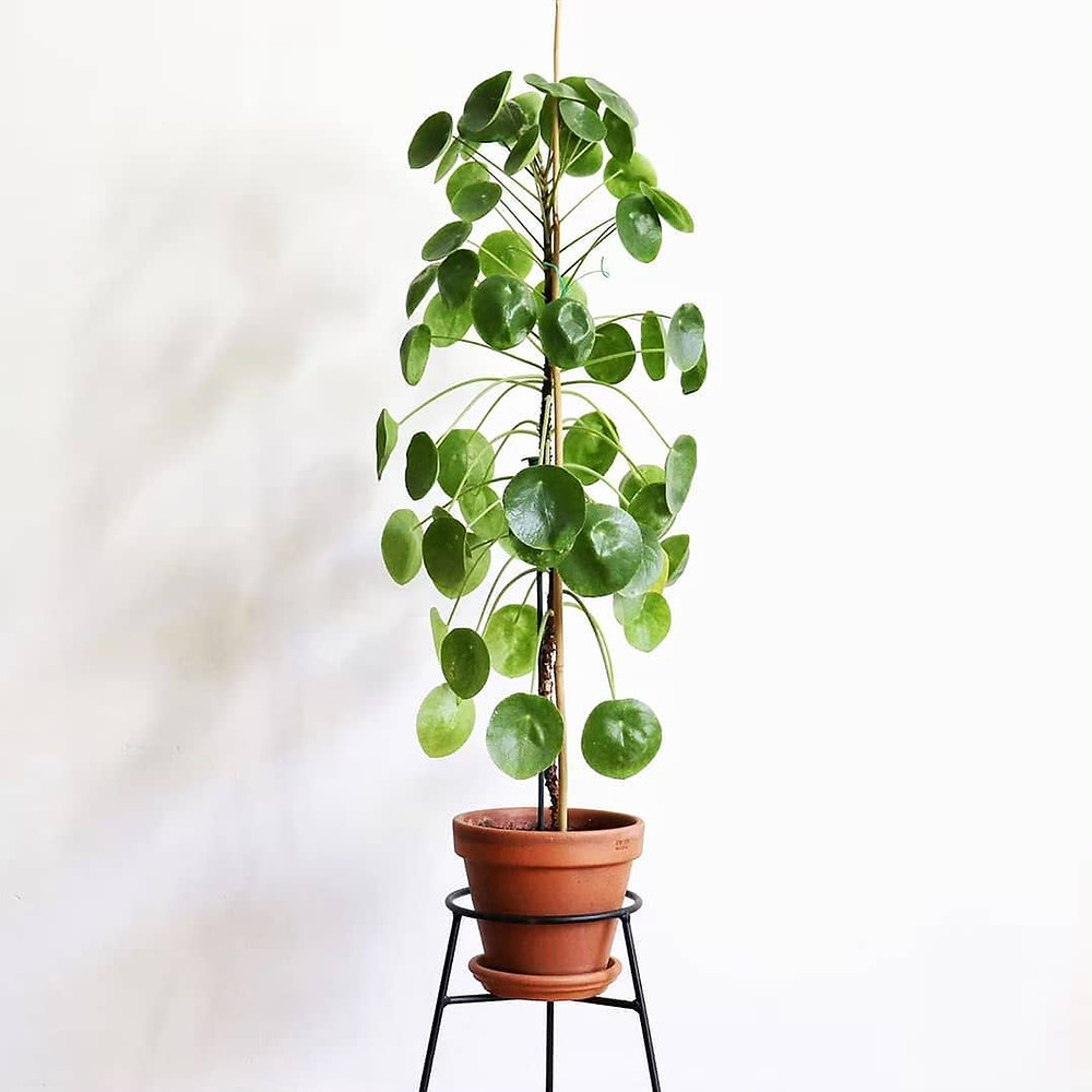 Pilea Peperomioides Quick Fast Growing Houseplants
