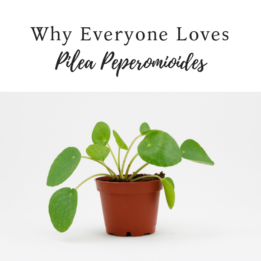 Why We All Love Pilea So Much