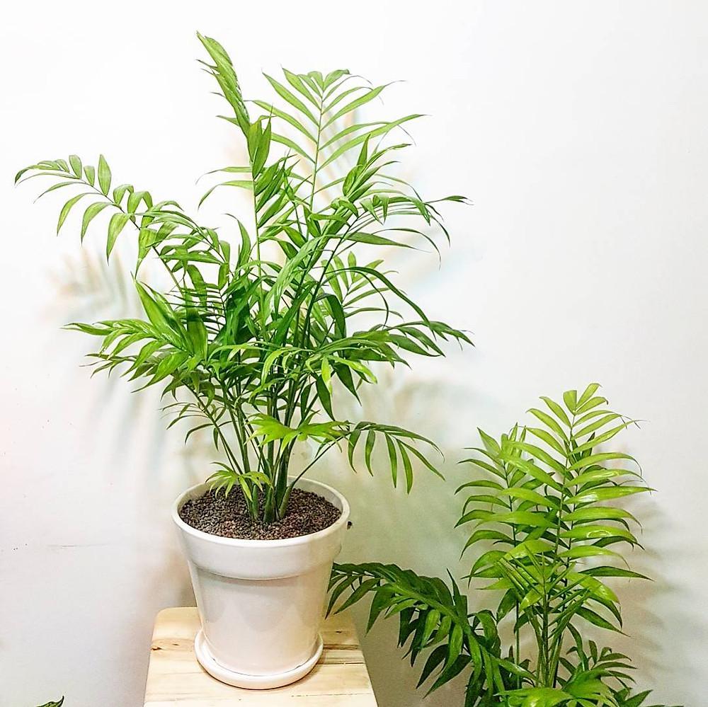 Bamboo Palm Hard To Kill Houseplants