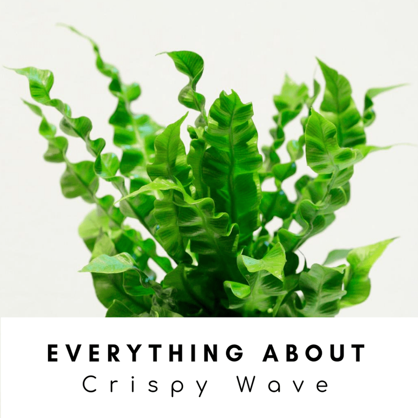 Everything About Crispy Wave: A Natural Air Purifier