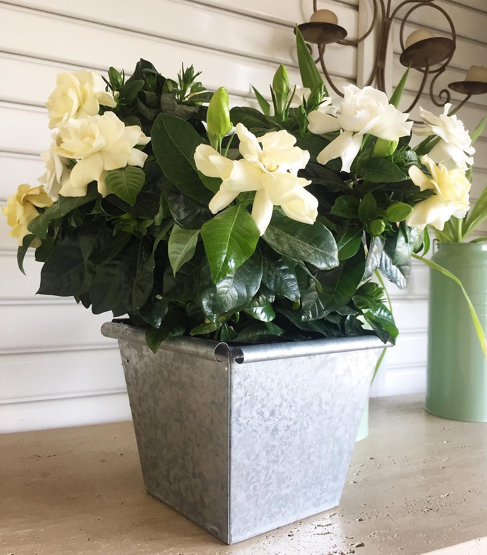 Gardenia Plants for Sleep Bedroom