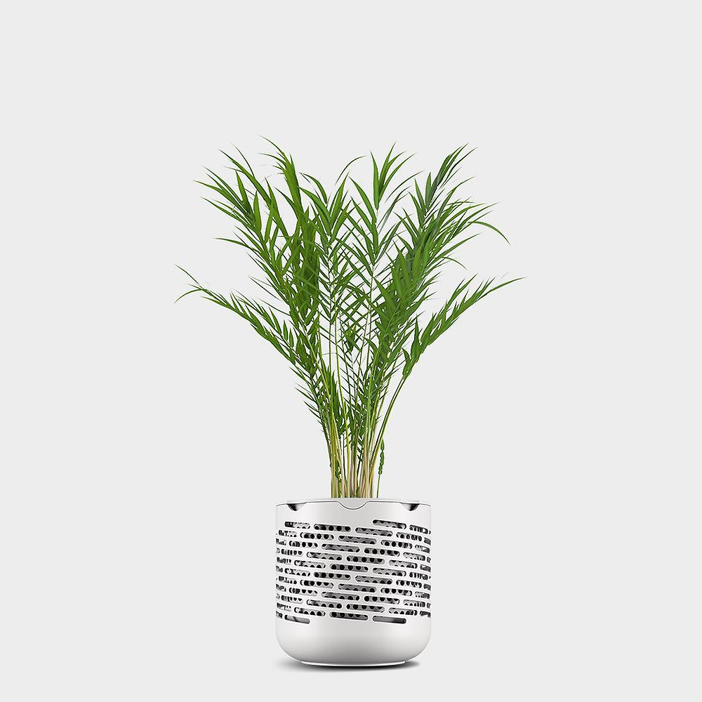 Areca Palm Air Purifying Plant