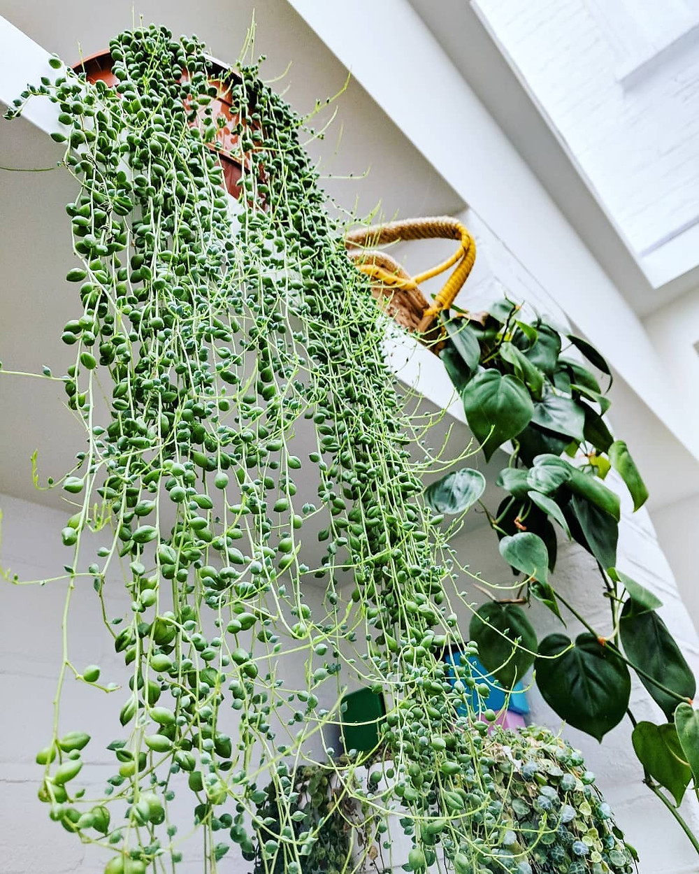 Vines Trailing Plants Hanging Plants For Small Spaces Indoor Jungle