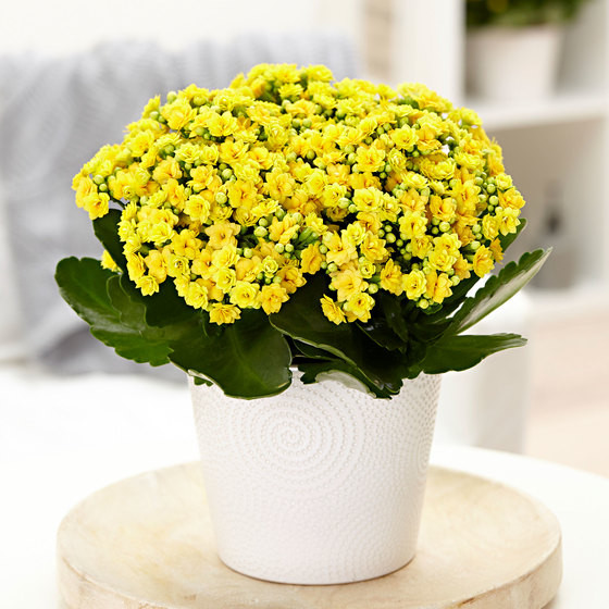 Kalanchoe Full Sun Bright Light Loving Plant