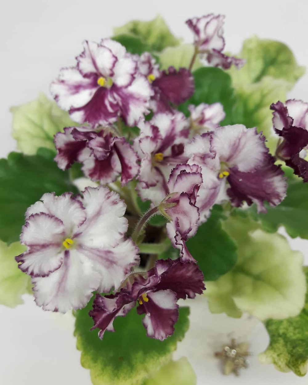 African Violets Cheap Houseplants You Can Easily Add To Your Home