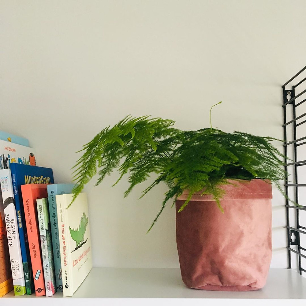 Asparagus Fern Low-Light Small Plants For Your Tiny Darker Spots