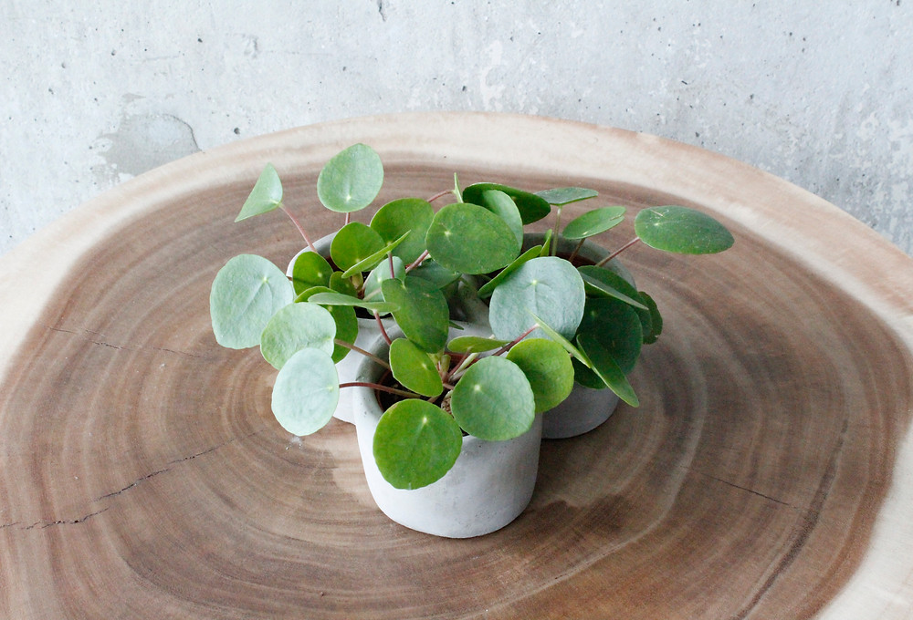 How To Take Care Of Pilea Peperomioides
