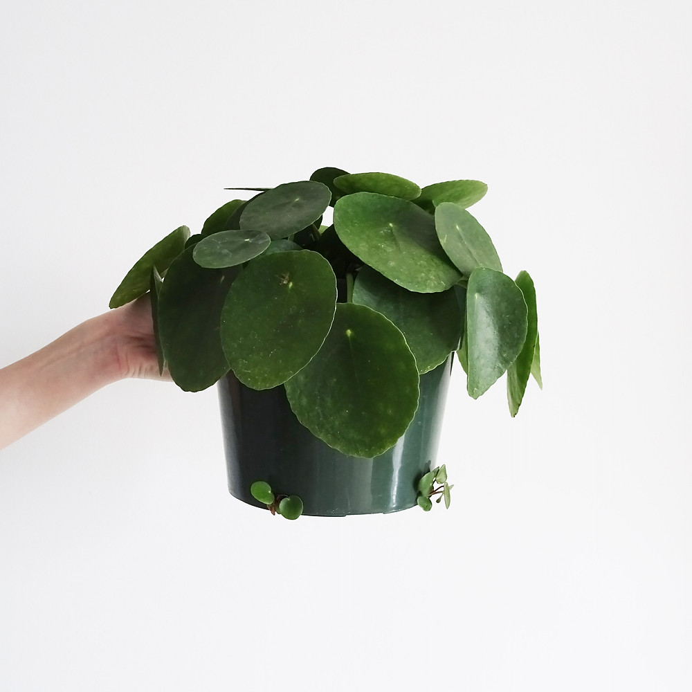 Easy To Care Houseplants Keep Alive Pilea Peperomioides