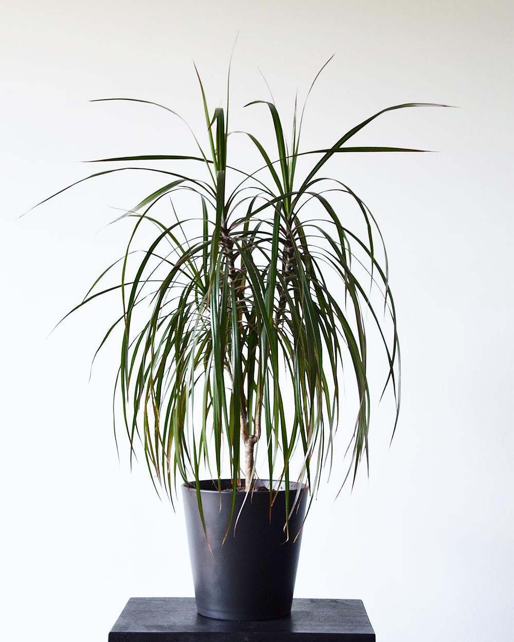 Easy To Care Houseplants Keep Alive Dragon Tree Dracaena marginata