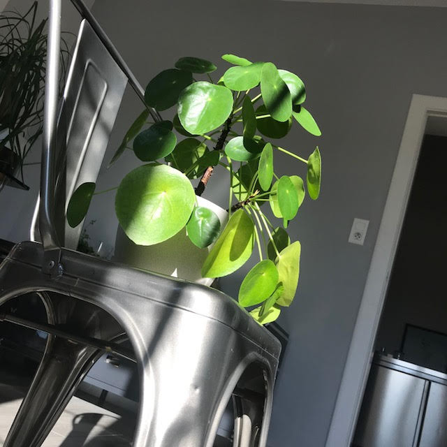 Pilea Peperomioides Decor Lightning
