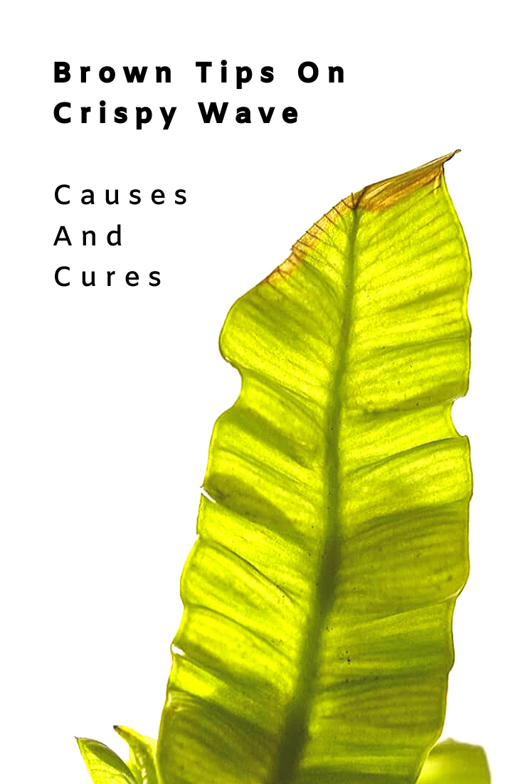 Brown Tips on Crispy Wave: Causes And Cures