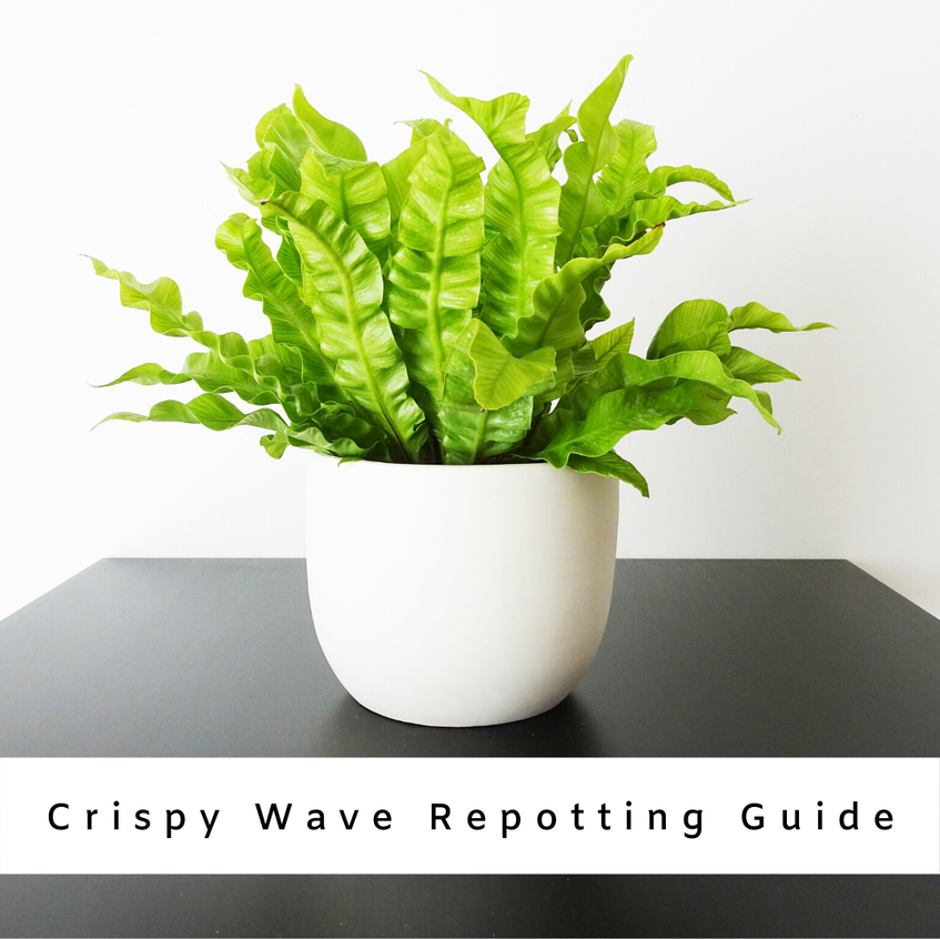 Crispy Wave Repotting Guide: Why, When And How