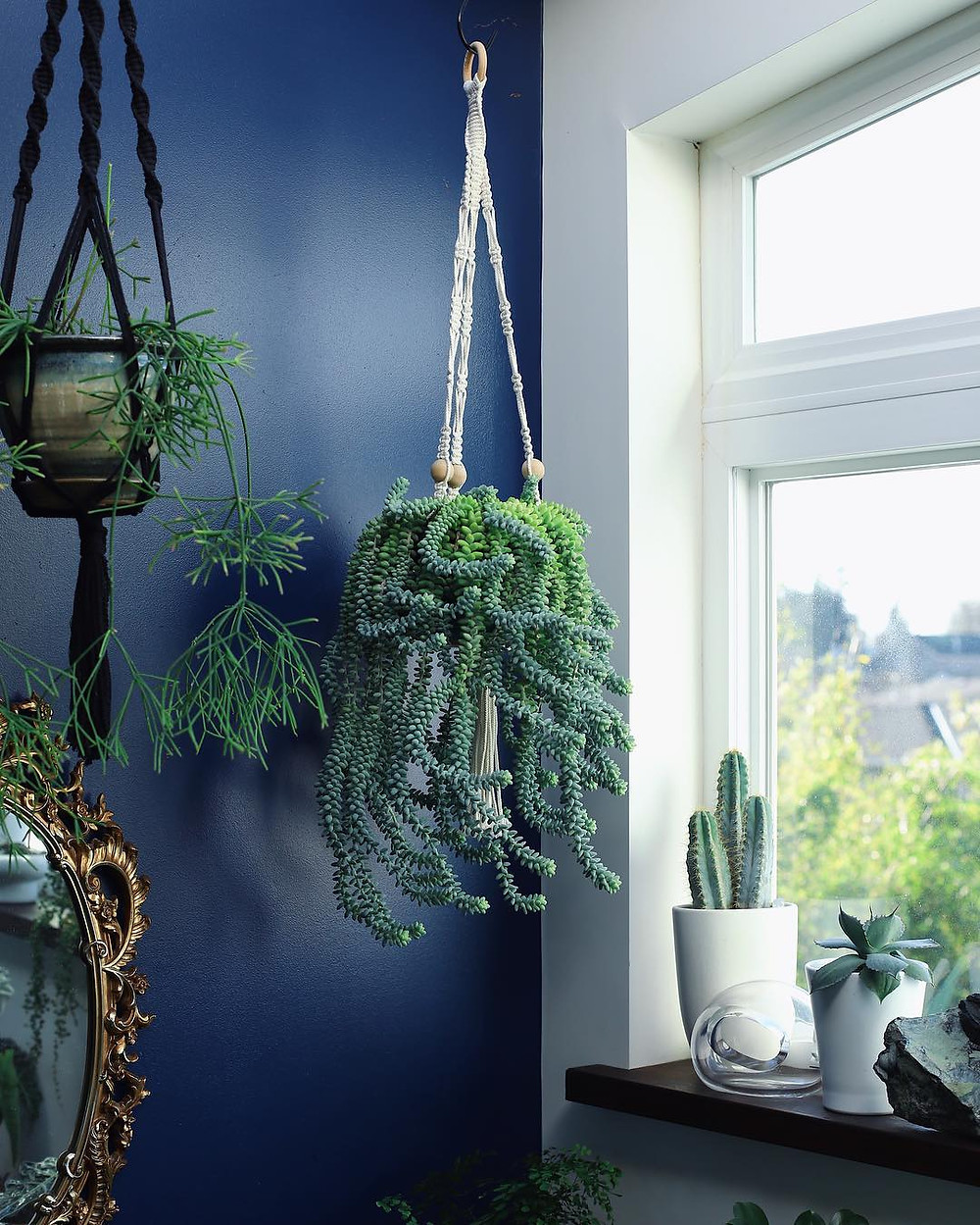 Burro's Tail Hanging Plants Trailing Houseplants