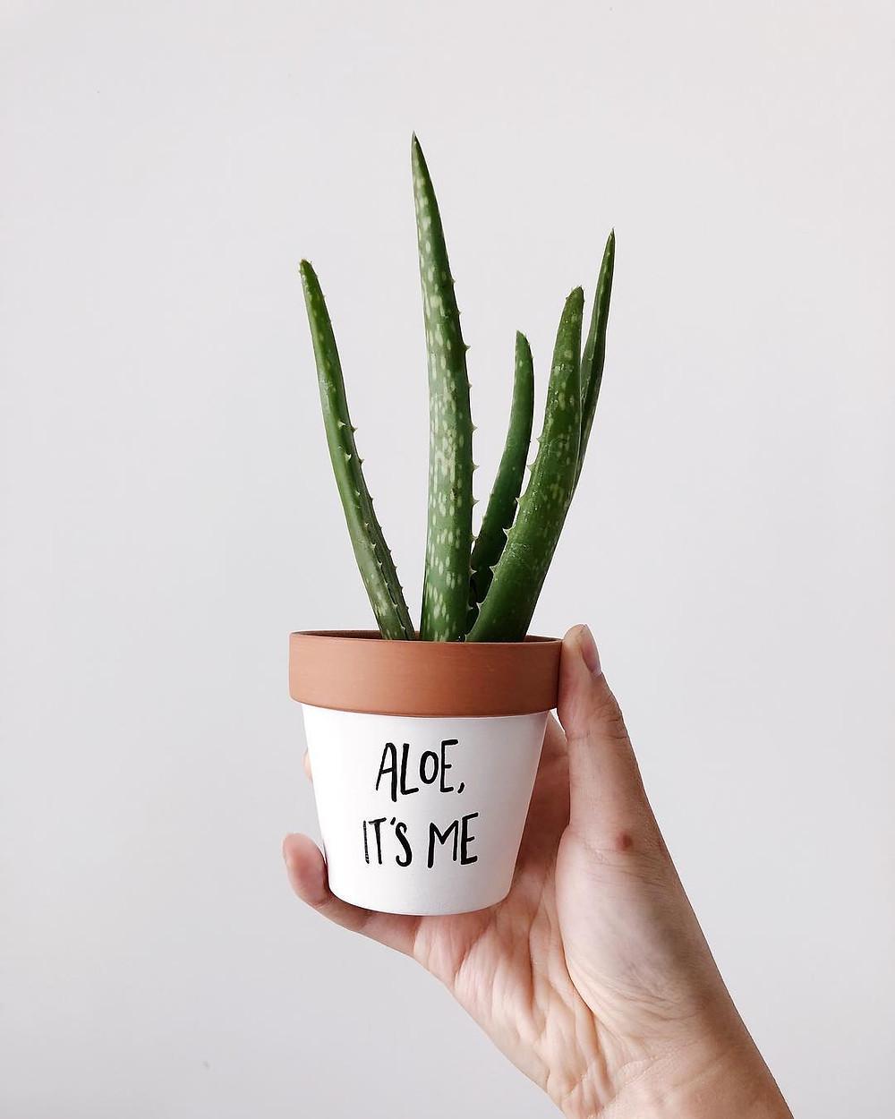 Aloe Vera Healthy Home Houseplants Air Purifying