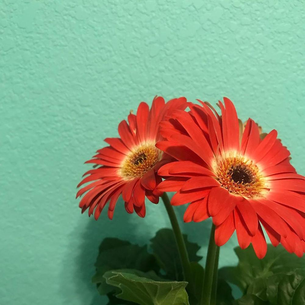 Gerber Daisy Healthy Home Air Purifying Houseplants