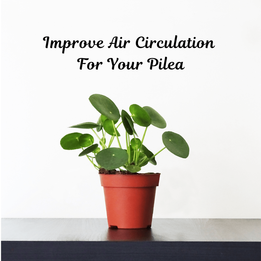 How To Improve Air Circulation For Your Pilea