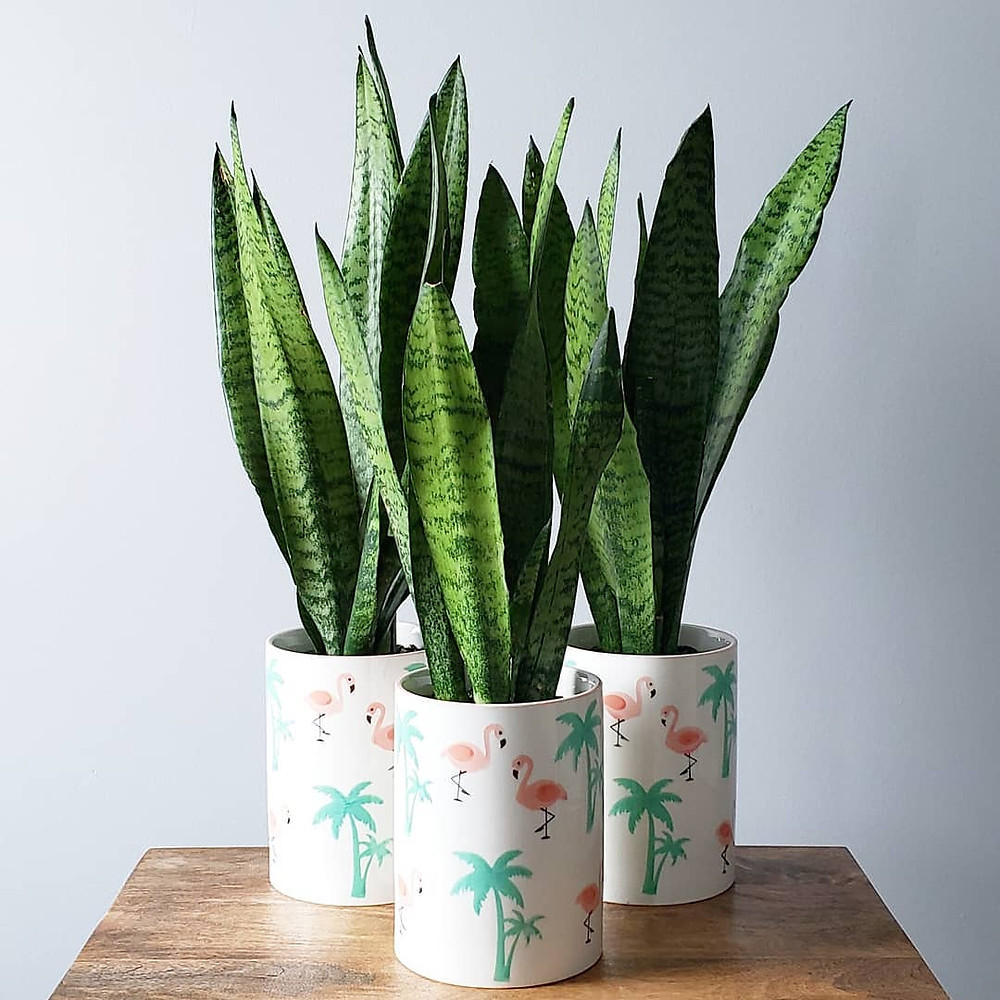 Snake Plant Low-Maintenance Houseplants You Can Easily Grow