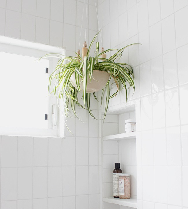 spider plant plants great for the bathroom