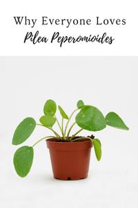 Pilea Peperomioides Love