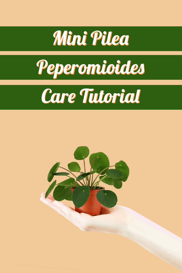 Mini Pilea Peperomioides Care Tutorial