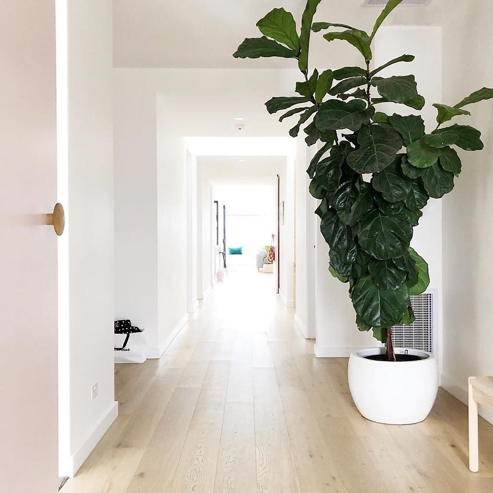 Fiddle Leaf Fig Low-Maintenance Houseplants You Can Easily Grow