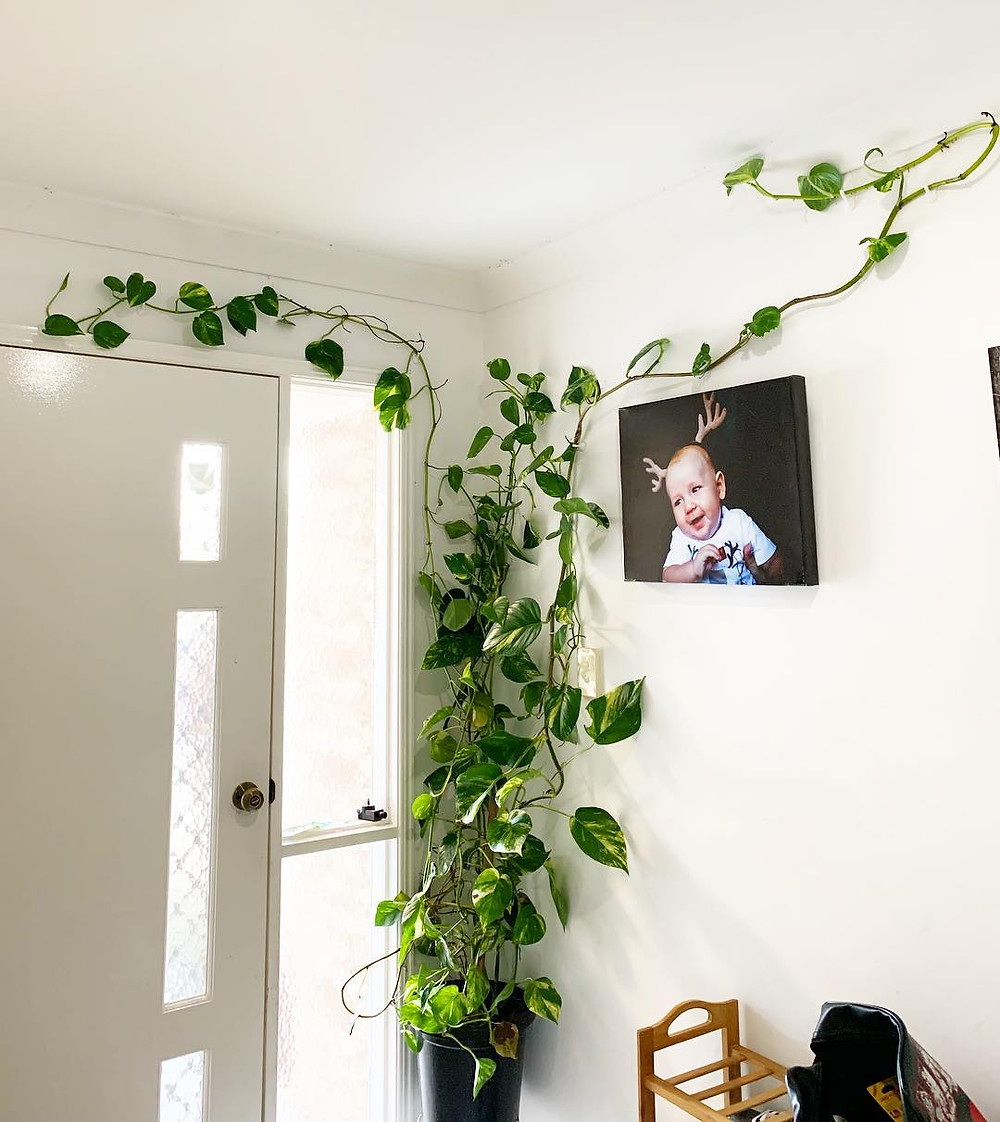 Low Ligh Houseplant Pothos