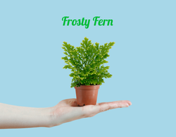 Mini Frosty Fern