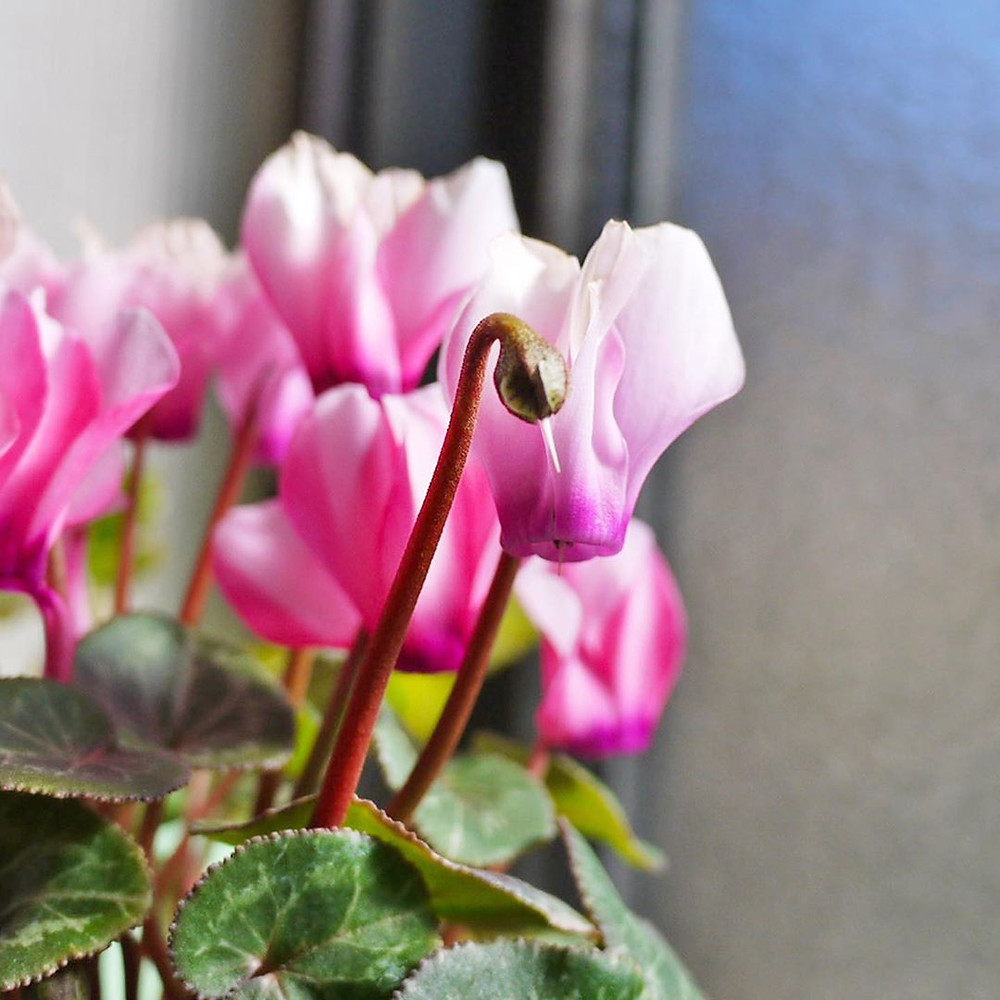 Cyclamens plants that do well in the bathroom