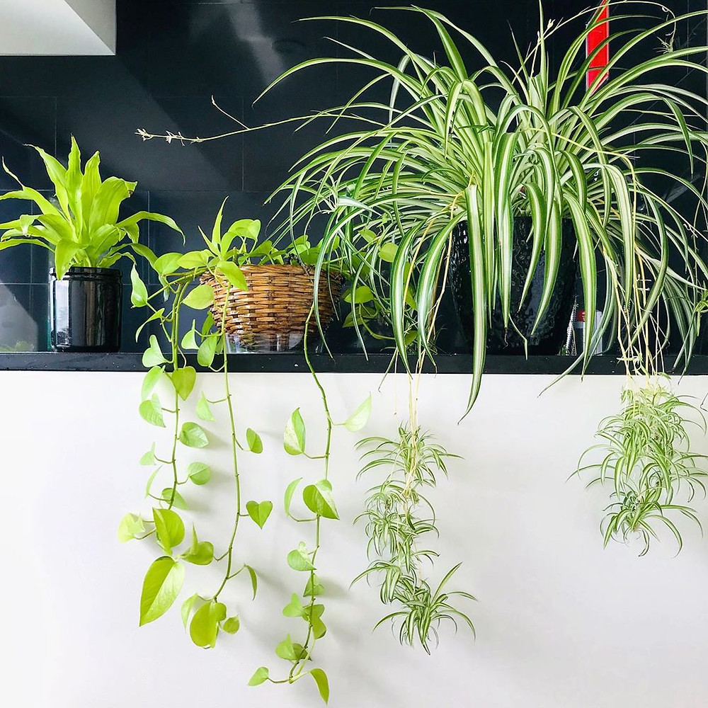 Spider Plant Easy Houseplants For Beginners Low Maintenance