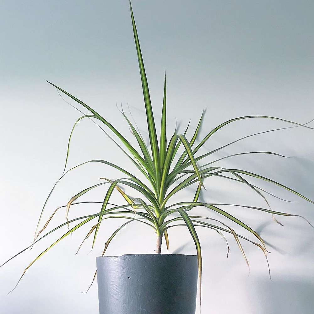 Dragon Tree Cheap Houseplants You Can Easily Add To Your Home