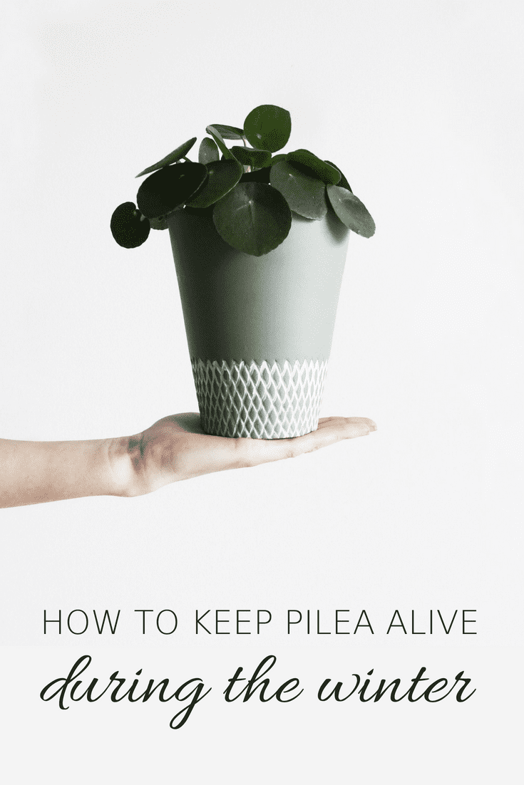 How To Keep Your Pilea Alive During Winter