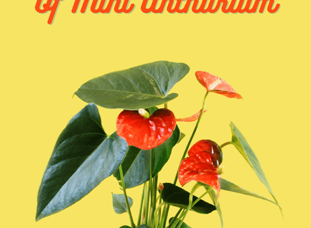 How To Take Care Of Your Mini Anthurium