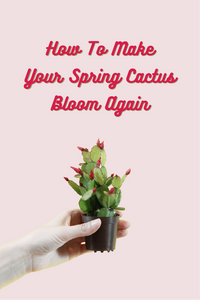 How To Make Your Spring Cactus Bloom Again
