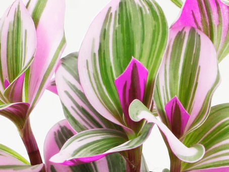 A Splash Of Color: Everything About Tradescantia Bubblegum Lilac