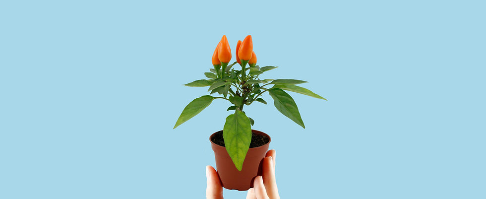 Mini Ornamental Pepper Care Food Temperature Requirements