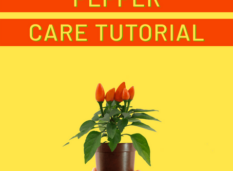 Mini Ornamental Pepper Care Tutorial