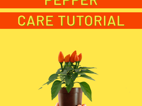 Mini Ornamental Pepper Care Tutorial