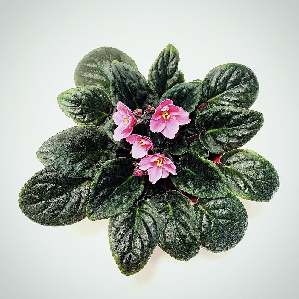 African Violets Low-Light Small Plants For Your Tiny Darker Spots
