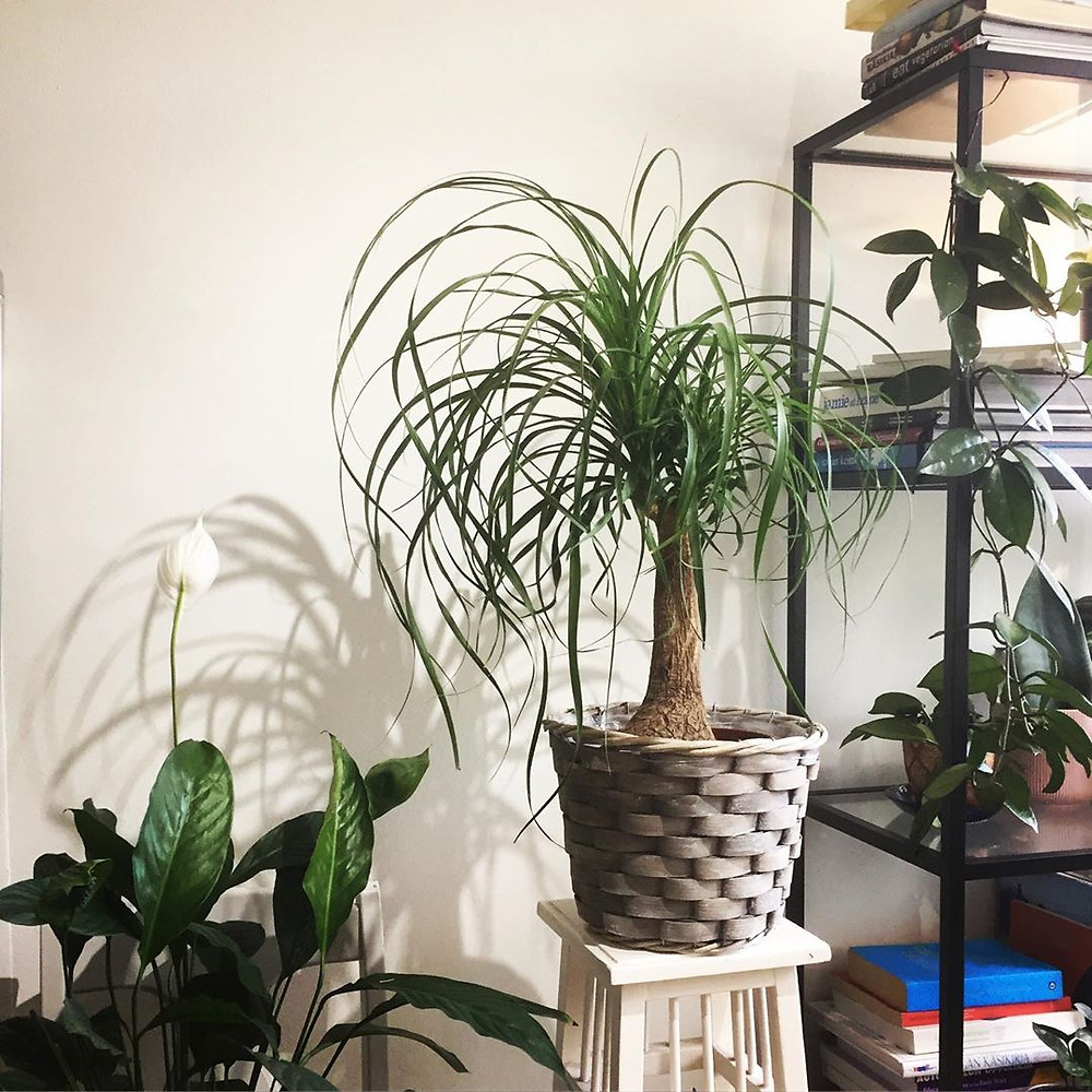 Ponytail Palm Low-Maintenance Houseplants You Can Easily Grow