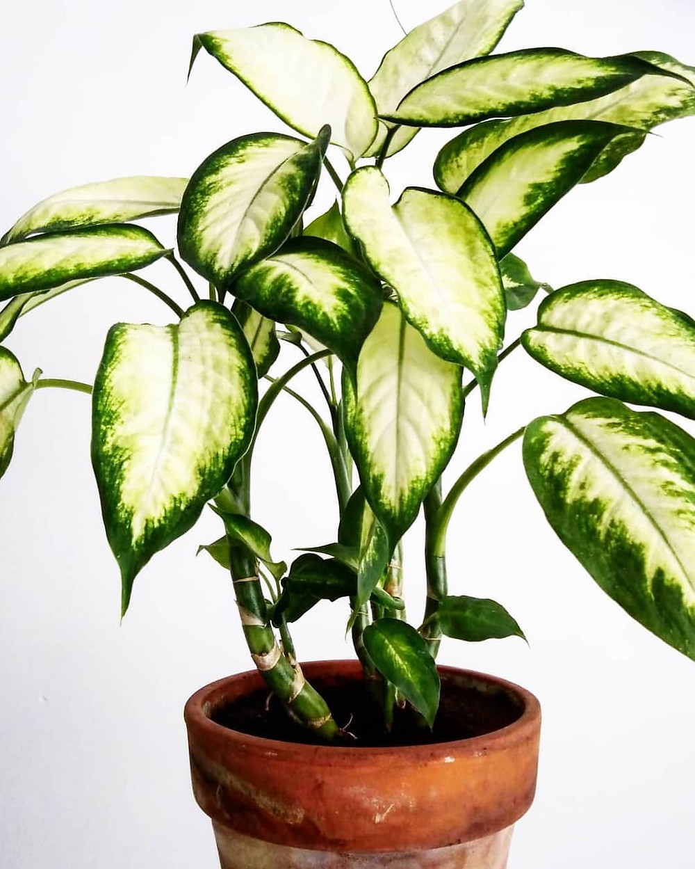 Dieffenbachia quick fast growing houseplants
