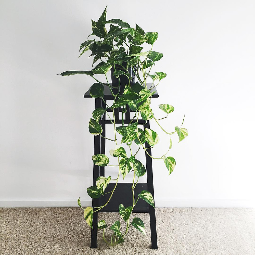 Easy To Care Houseplants Keep Alive Pothos Epipremnum aureum
