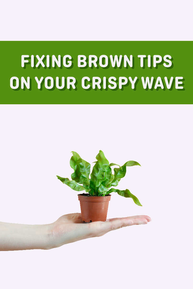 How To Fix Brown Tips On Your Mini Crispy Wave