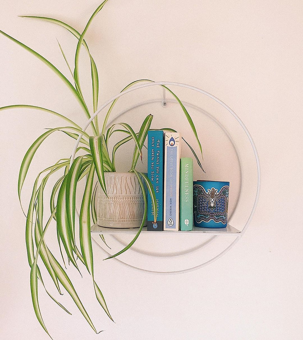 Spider Plant Quick Fast Growing Houseplants