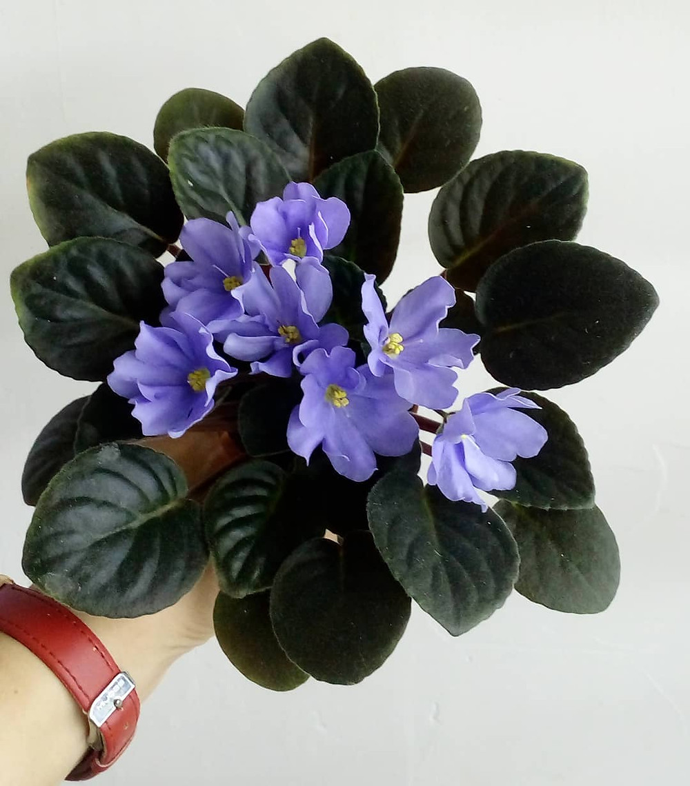 African Violet Pet Safe Houseplants Non Toxic