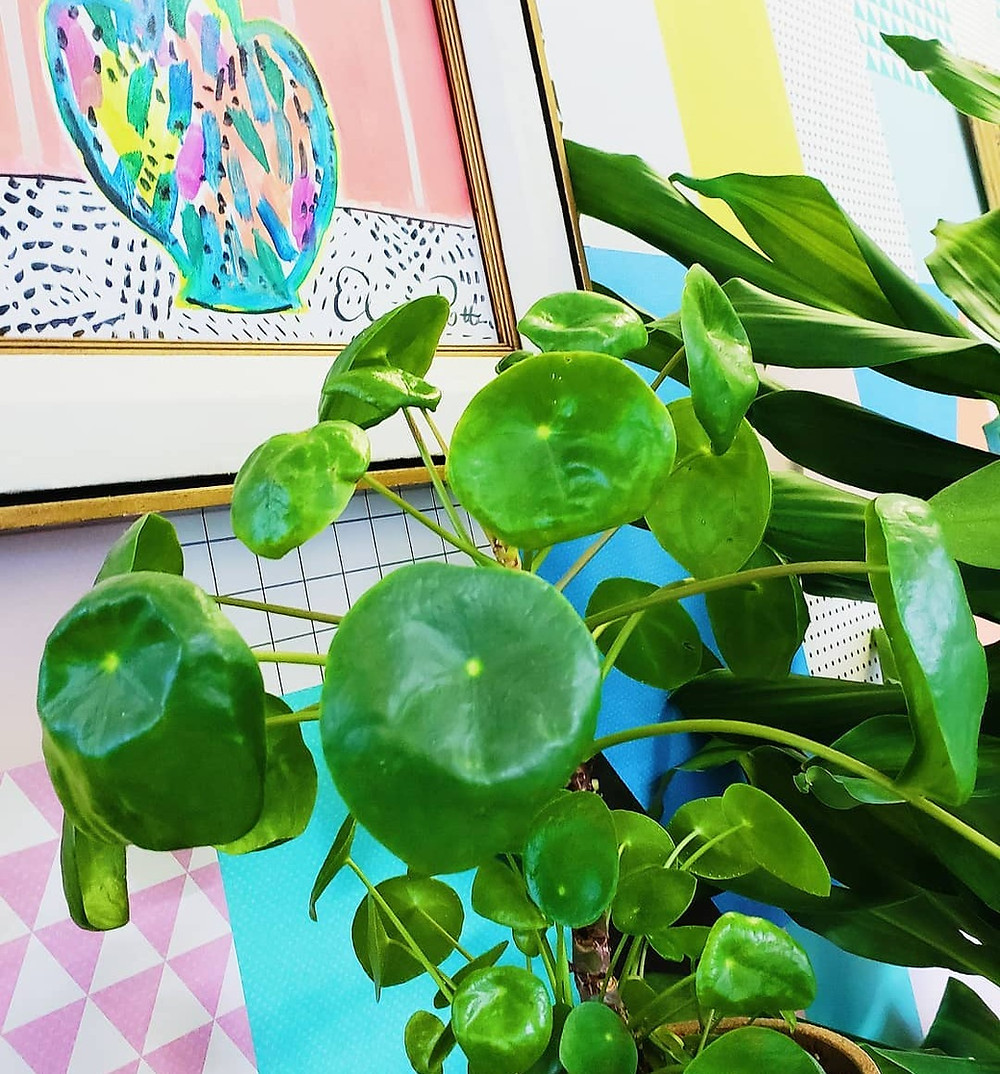 Pilea Peperomioides light heat stress curling leaves