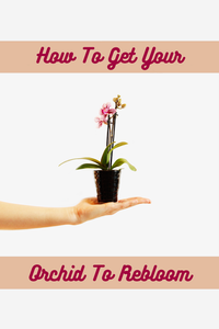 How To Get Your Orchids To Rebloom